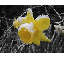 Daffodils in snow Photographic Print
