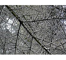 Snow on branches Photographic Print