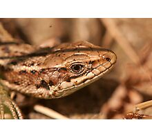 """Common lizard"" or ""viviparous lizard"" Photographic Print"