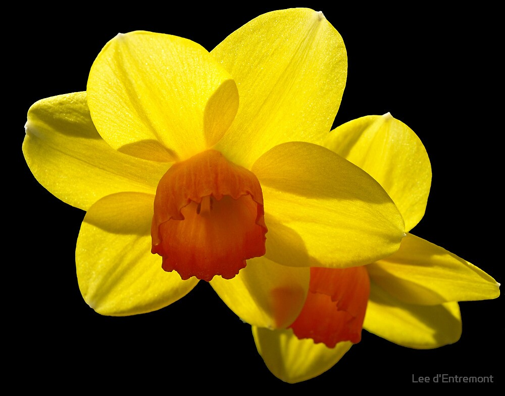Floating Daffodils. by Lee d'Entremont