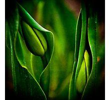 Baby Tulips Photographic Print