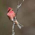 Purple Finch In All His Glory by Bill McMullen