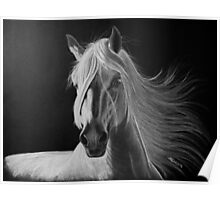 """A White Beauty"" - Lusitano stallion Poster"