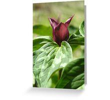 Prairie Trillium, mid-day sun Greeting Card