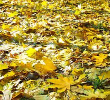 Selective focus on the yellow fallen autumn maple leaves close-up by vladromensky