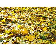 Selective focus on the yellow fallen autumn maple leaves close-up Photographic Print