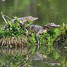 The Lazy Gators by Kathy Baccari