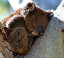 Sleepy Koala by joshquag