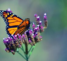 Butterfly by joshquag