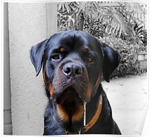 Rotweiler With Drool Poster