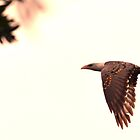 Wedge-Tailed Eagle - NSW by CasPhotography