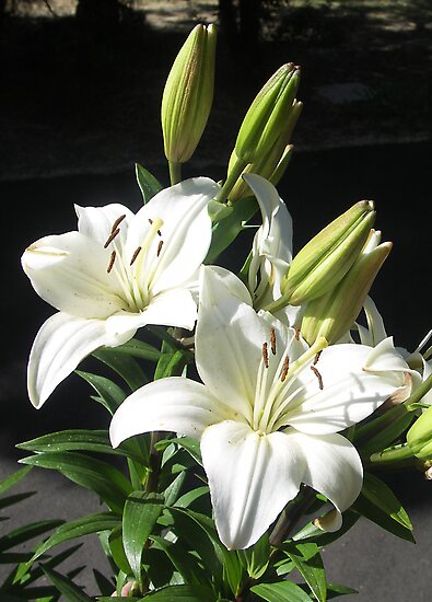Asiatic Lilies of White by Bev Pascoe