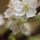 Sweet Cherries by decorartuk