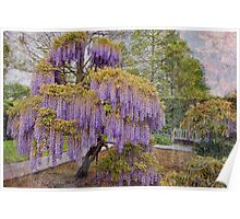 Wisteria Tree Poster