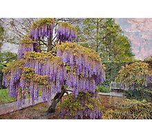 Wisteria Tree Photographic Print