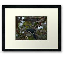 Male & Female Cuckoo ( Koyal) Framed Print