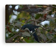 Male & Female Cuckoo ( Koyal) Canvas Print