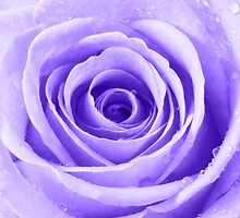Purple Rose with Water Droplets by Natalie Kinnear