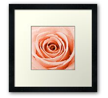 Orange Rose with Water Droplets Framed Print