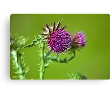 Thistle flower Canvas Print
