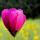 Winecup - Texas Wildflower near Lake Pickens, Sherman, Texas by aprilann