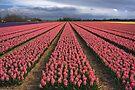 Pink Hyacinth Field by Jo Nijenhuis