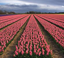 Pink Hyacinth Field by Jo Nijenhuis