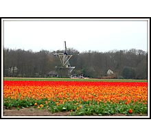 Field of tulips Photographic Print