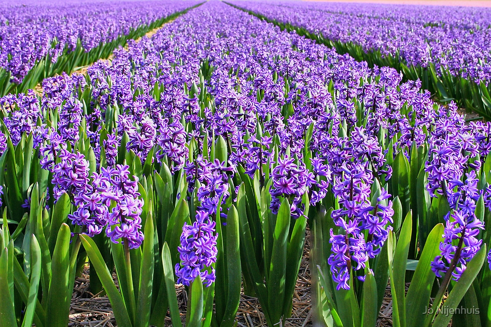 Purple Hyacinth Field by Jo Nijenhuis