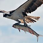 Osprey on the wing by Barry Goble