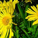 Yellow Flower by Johnathan Bellamy