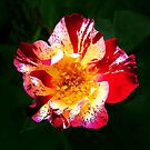 Speckled Rose by Roz McQuillan
