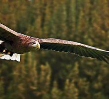 White Tailed Sea Eagle Soaring by David Alexander Elder