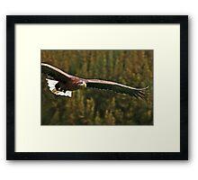 White Tailed Sea Eagle Soaring Framed Print