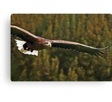 White Tailed Sea Eagle Soaring Canvas Print