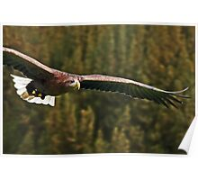 White Tailed Sea Eagle Soaring Poster
