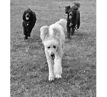 Poodle Days Photographic Print