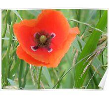 Heart of Red Poppy Poster