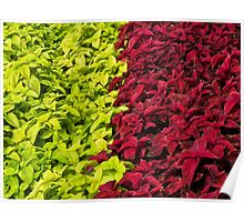 lime and cerise Poster