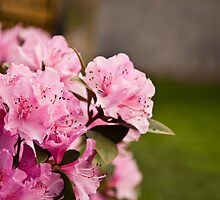 Pink Azaleas in the Urban Jungle II by Shadrags