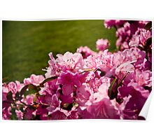 Pink Azaleas in the Urban Jungle IV Poster