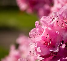 Pink Azaleas in the Urban Jungle XII by Shadrags
