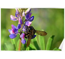 Carpenter Bee On Lupine Poster