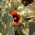 Namibian Flower by Margaret  Hyde
