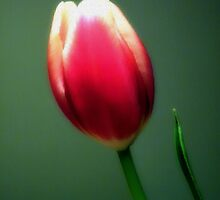 To Love A Tulip by Sharon Woerner