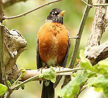 American Robin Posing Proudly by DARRIN ALDRIDGE