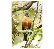 American Robin Posing Proudly Poster