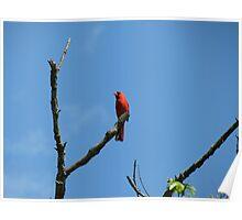 Cardinal on a Steeek Poster