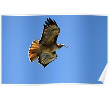 Red Tail Hawk Building Nest Poster
