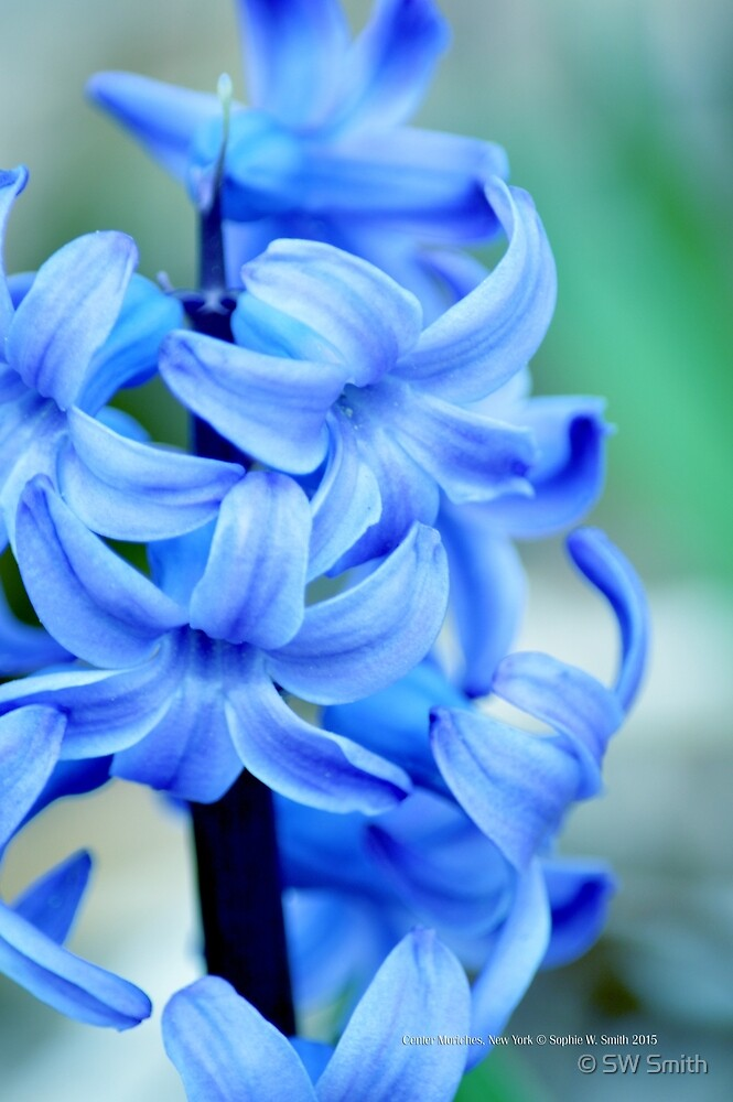 Hyacinthus Orientalis - Common Hyacinth | Center Moriches, New York by © Sophie W. Smith